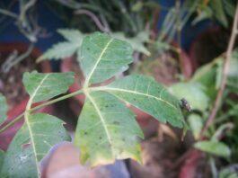 Benefícios da planta Neem